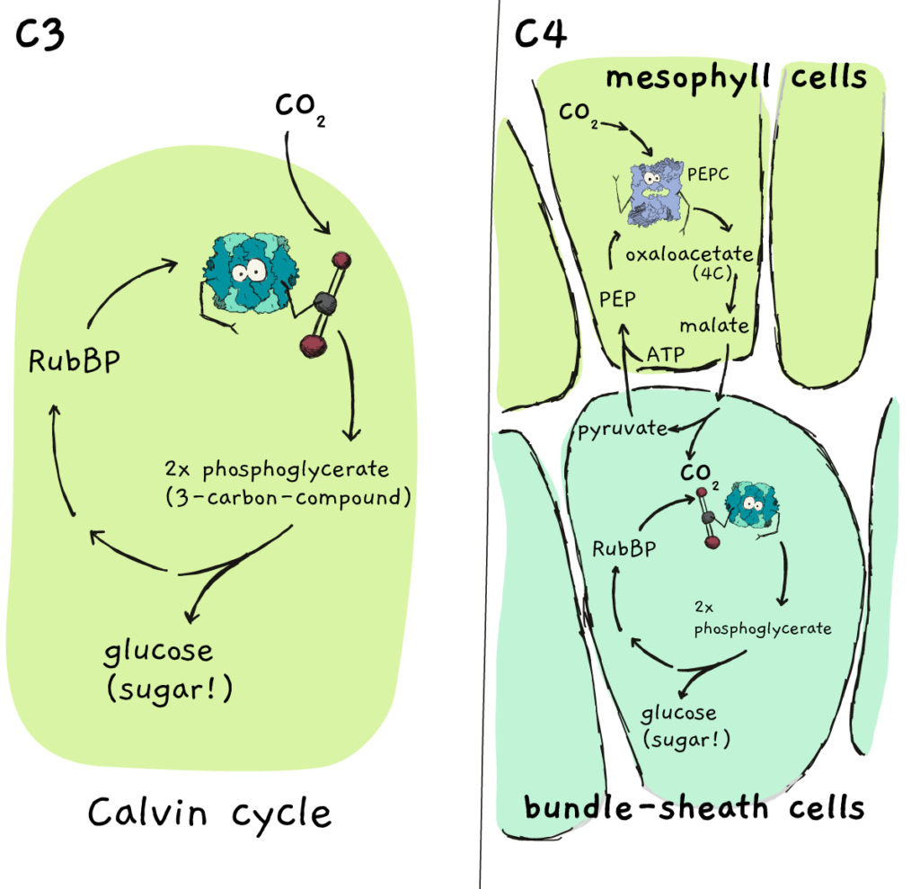 A depiction of the difference between C3 and C4 plants. C4 plants fix CO2 in a more complex manner by first transferring it to a C4 compound before releasing CO2 near rubisco.