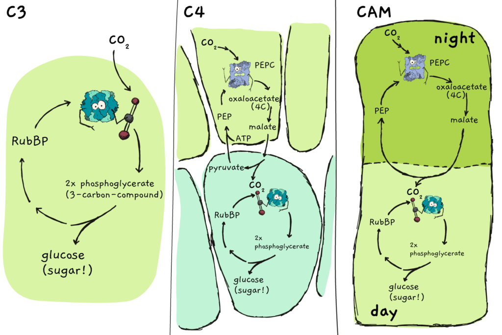 A comparison between C3, C4 and CAM pathways in plants.