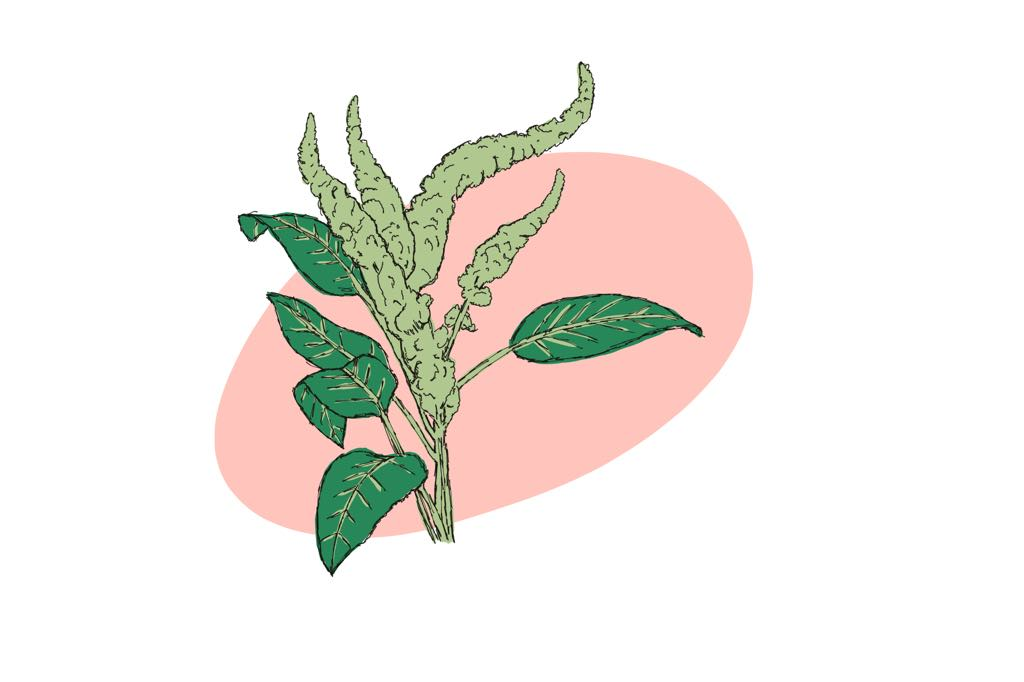 Pigheaded pigweed- an amaranth that can't be killed by Roundup