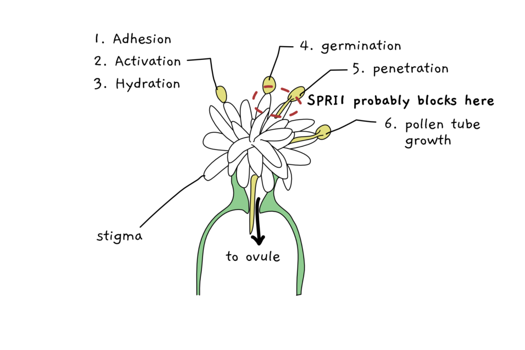 A scheme depicting pollen binding to the stigma of flower