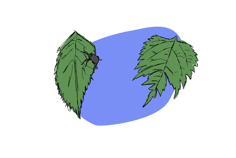 How the Leaf got its Shape