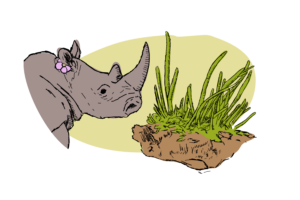 Rhinoceros and Anthoceros are two very different things
