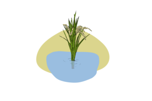 These two genes help rice to keep its head above water