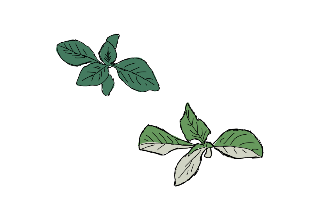 Two plants, one with leaf sectors that are white instead of green.