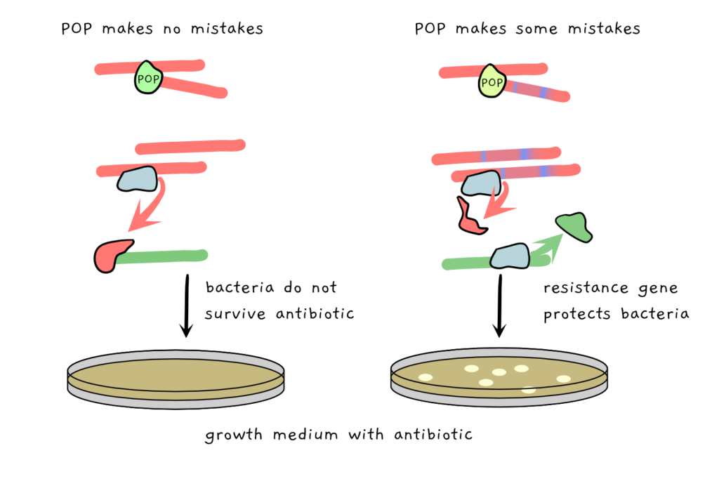 Scheme depicting the selection process of the experiment described in the text. Unaltered POP leads to the expression of a repressor, which blocks the resistance gene. as a result, the bacteria can't grow in the presence of an antibiotic on their growth plate. If the POP is altered, it makes errors when copying the repressor gene, the resistance gene hence isn't repressed and and can be activated. as a result, the bacteria are resistant to the antibiotic and can grow.