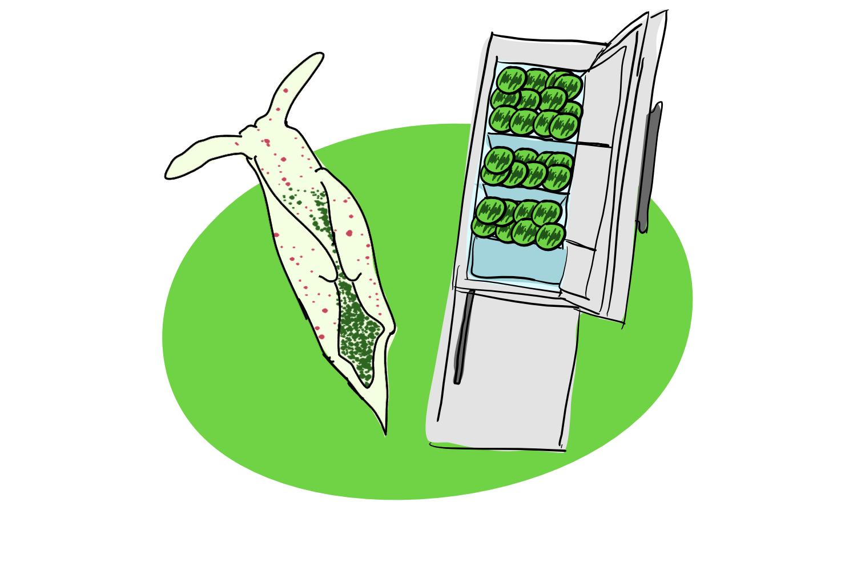A decorative image of a sea slug and a fridge filled with chloroplasts