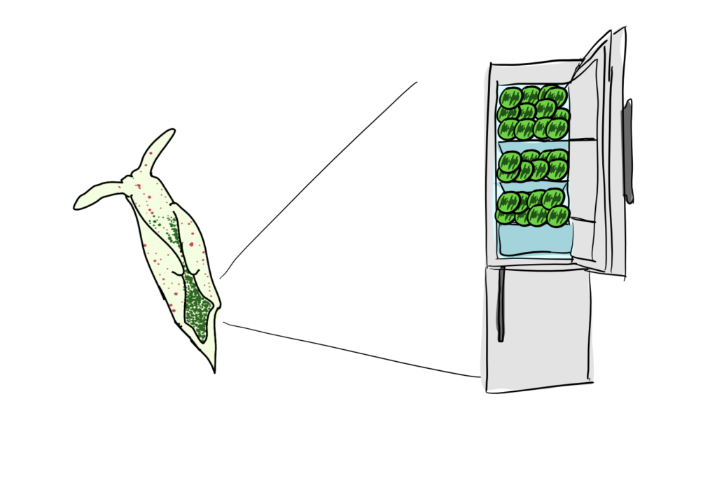 A sea slug of the species Elysia timida with lines indicating that it's ability to keep chloroplasts fresh is similar to a fridge filled with chloroplasts.