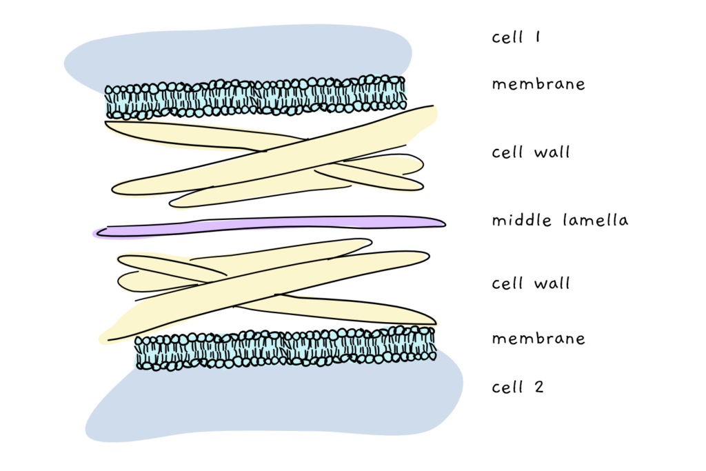 A cartoon depicting the structure of the cell wall between two plant cells. A sandwich is formed of cell membrane, cell wall, middle lamella, cell wall and cell membrane of the second cell.