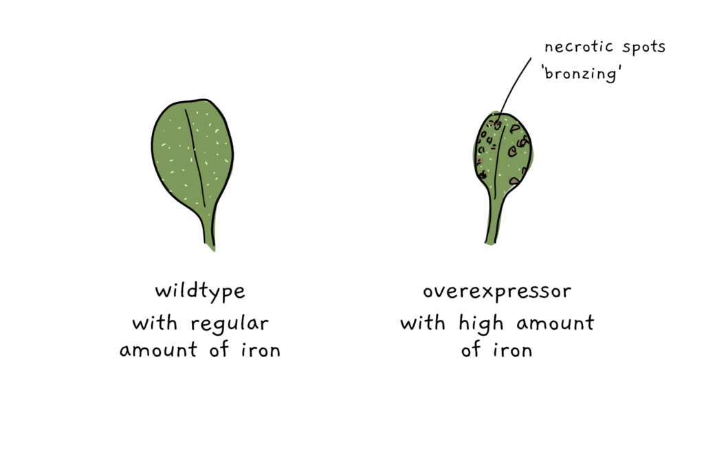 A cartoon depicting two leaves from arabidopsis. One is wildtype with no visible spots, while the other has brown spots due to the overexpression of IMA genes.