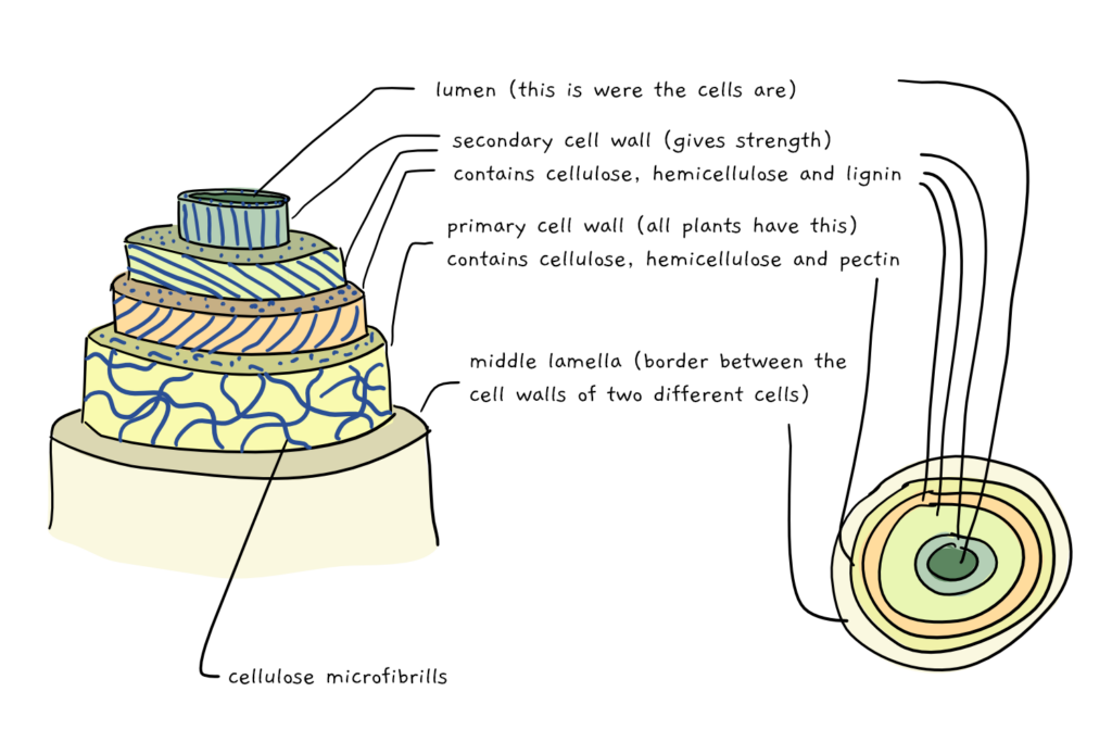 A scheme depicting the layered buildup of the secondary and primary cell wall in woody plants.