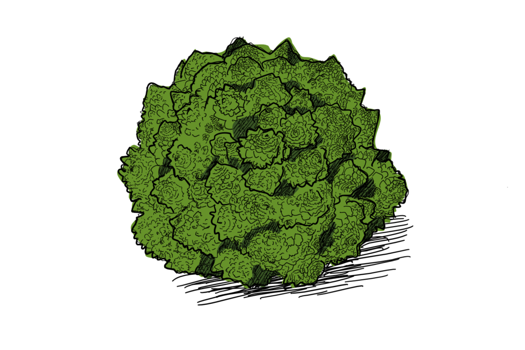 A drawing of the highly geometric broccoli of the romanesco variety