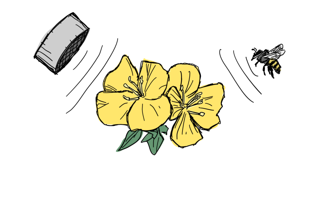 A beach evening primrose flower presented with sound from a speaker and from a bee.
