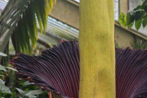 I saw the Kew Garden's giant Corpse Flower
